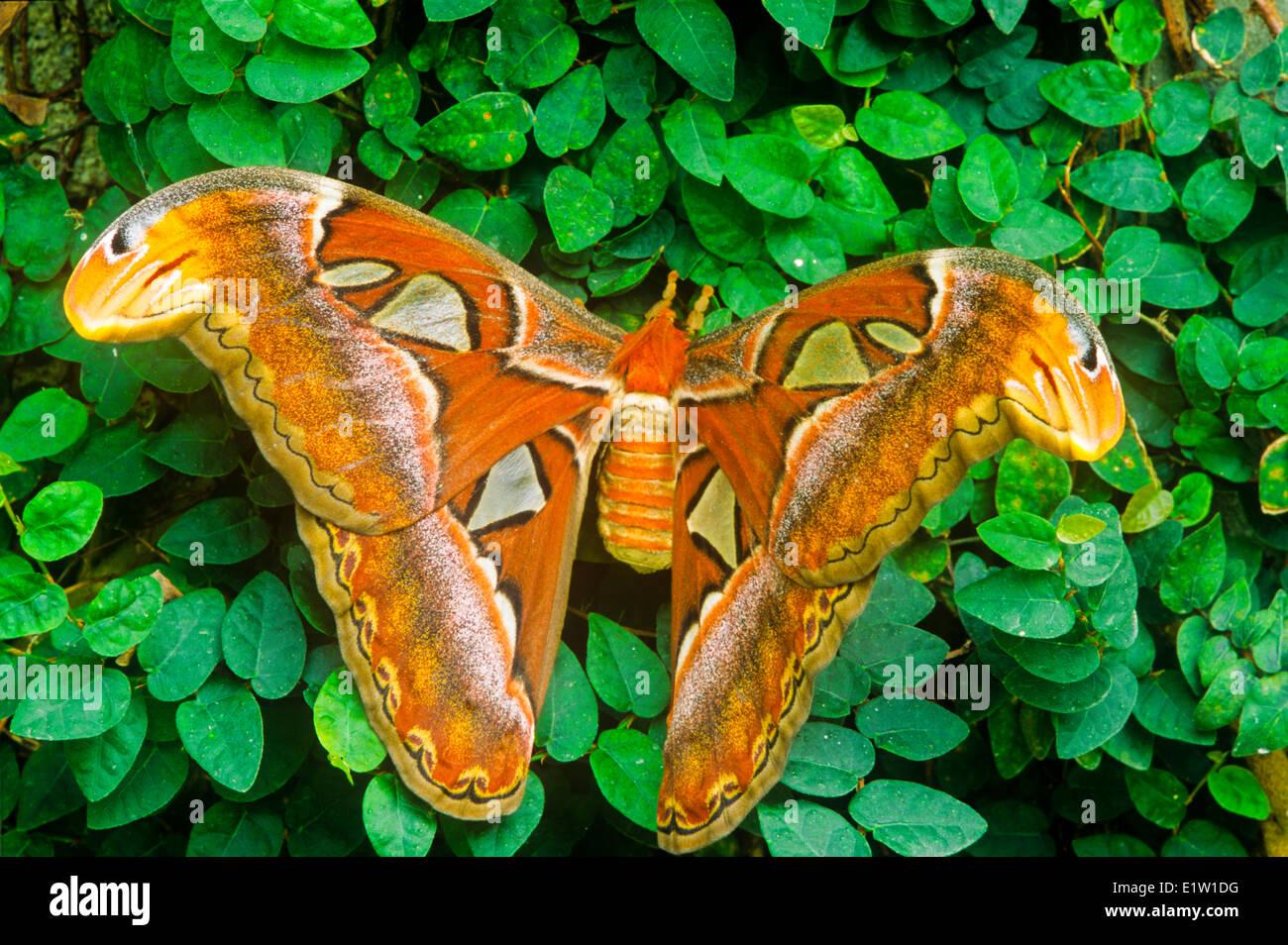 Adult Atlas Moth, (Attacus atlas), dorsal view - Stock Image