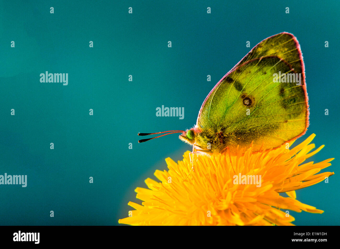 Common or Clouded Sulphur Butterfly, (Colias philodice) ventral view. - Stock Image