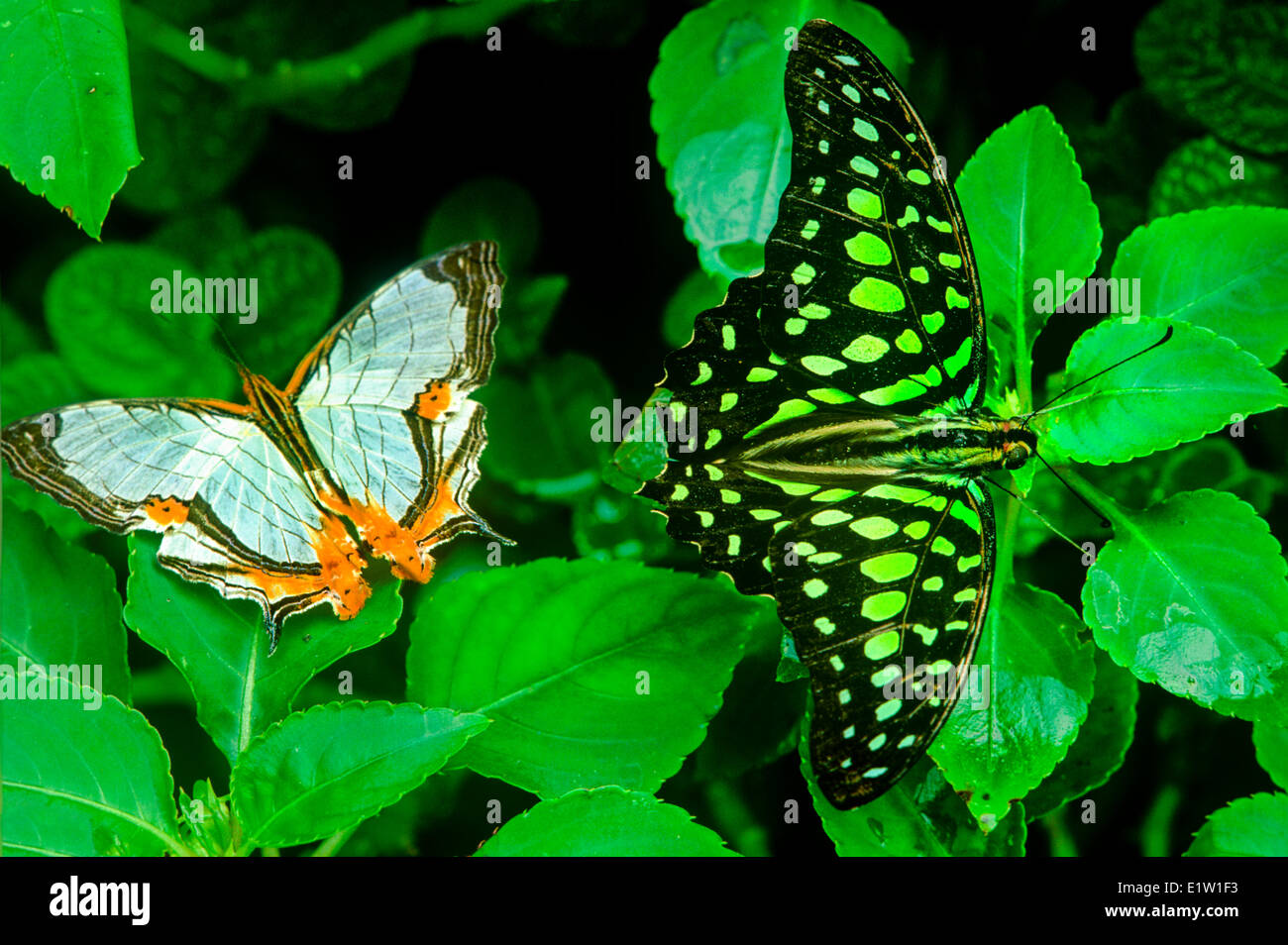 (Cyristis nivea nivalis), (Graphium agamemnon agamemnon), Tailed Jay butterfly, female, dorsal view,  Malaysia - Stock Image