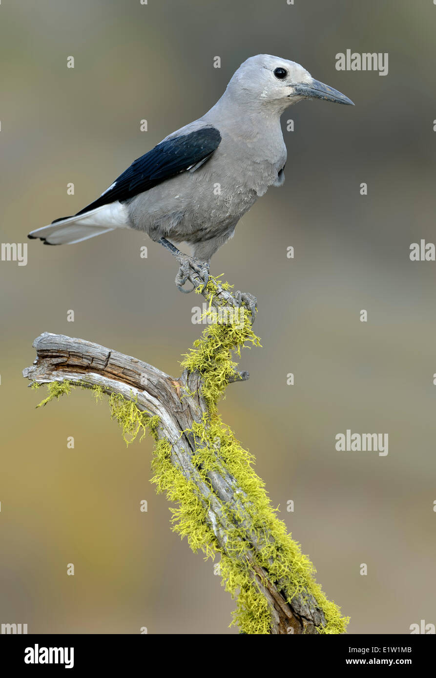 Clark's Nutcracker (Nucifraga columbiana) - Dechutes National Forest, oregon - Stock Image