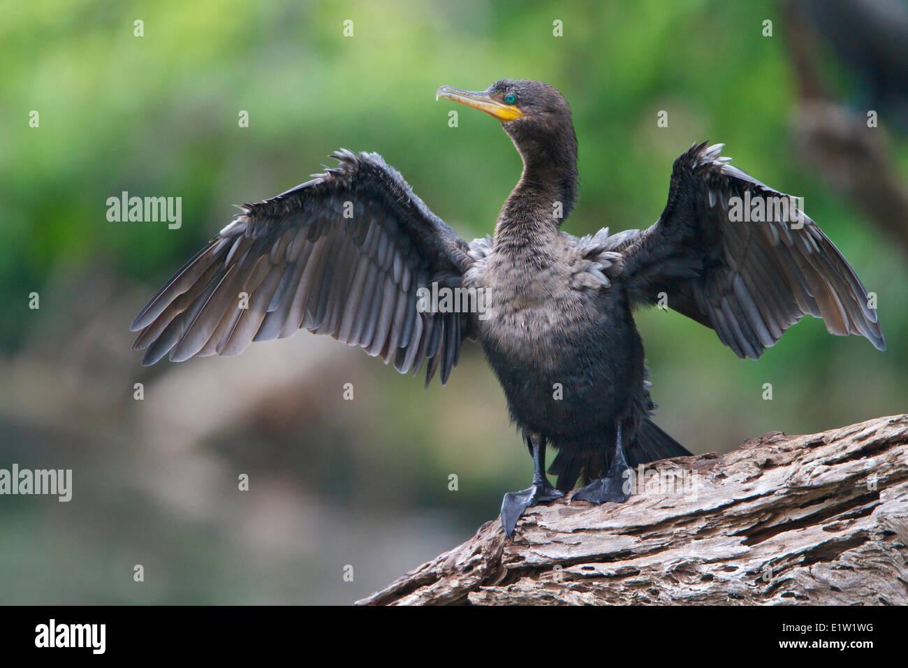 Neotropic Cormorant (Phalacrocorax brasilianus) perched on a branch in Peru. - Stock Image