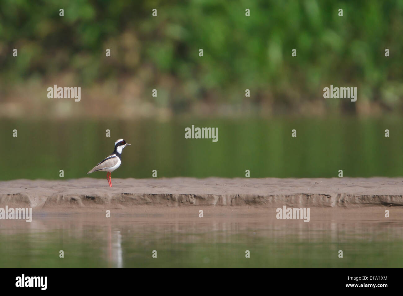 Pied Lapwing (Vanellus cayanus) perched on the shoreline in Peru. - Stock Image