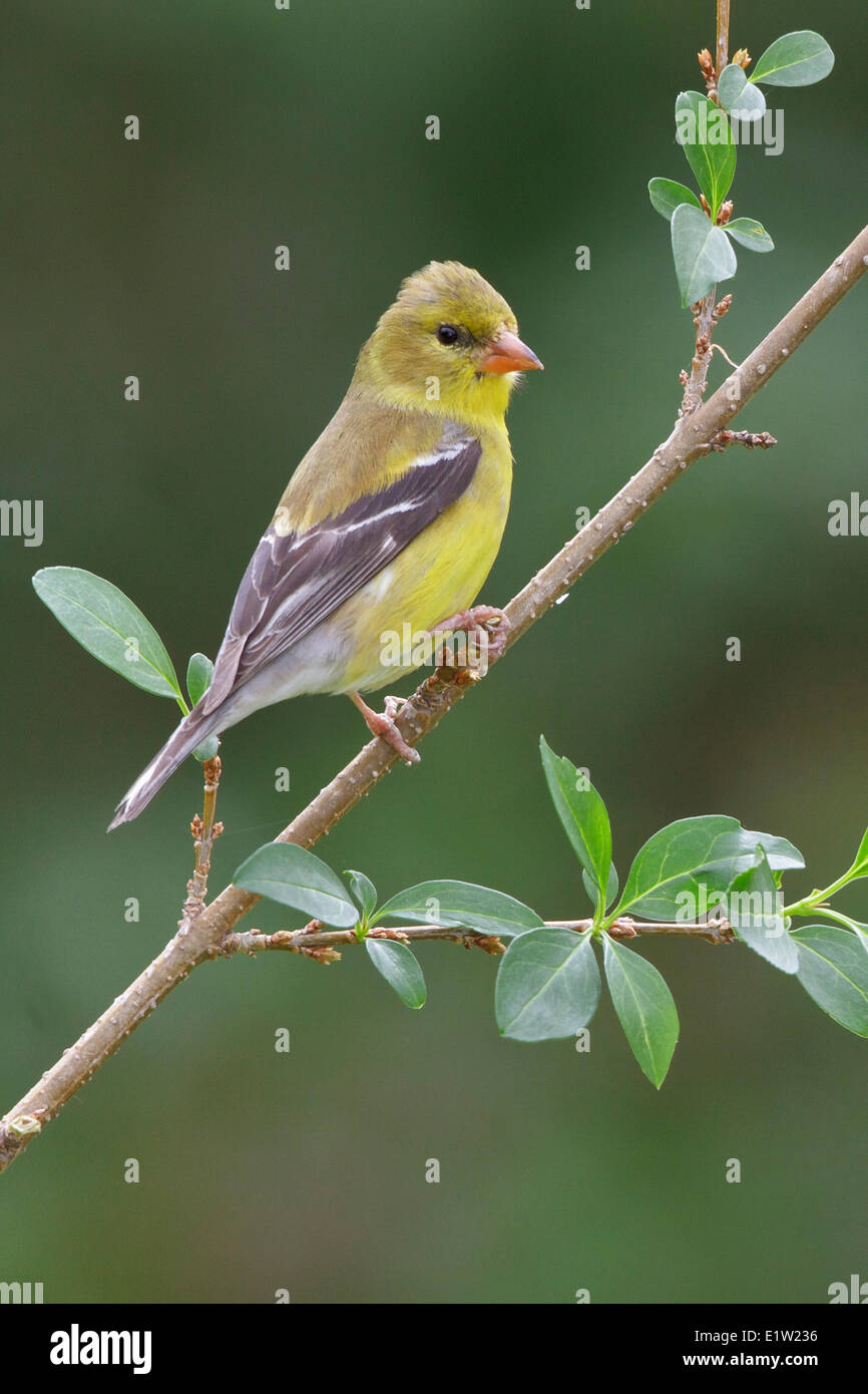 American Goldfinch, Carduelis tristis, perched on a branch in Eastern Ontario, Canada. - Stock Image