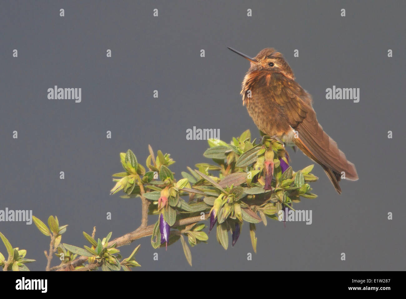 Shining Sunbeam (Aglaeactis cupripennis) perched on a branch in Peru. - Stock Image