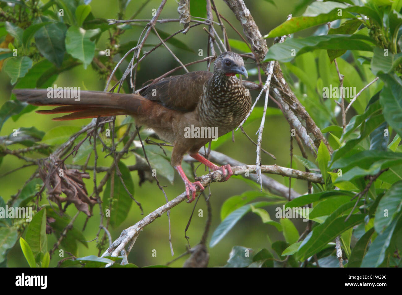 Speckled Chachalaca (Ortalis guttata) perched on a branch in Peru. - Stock Image