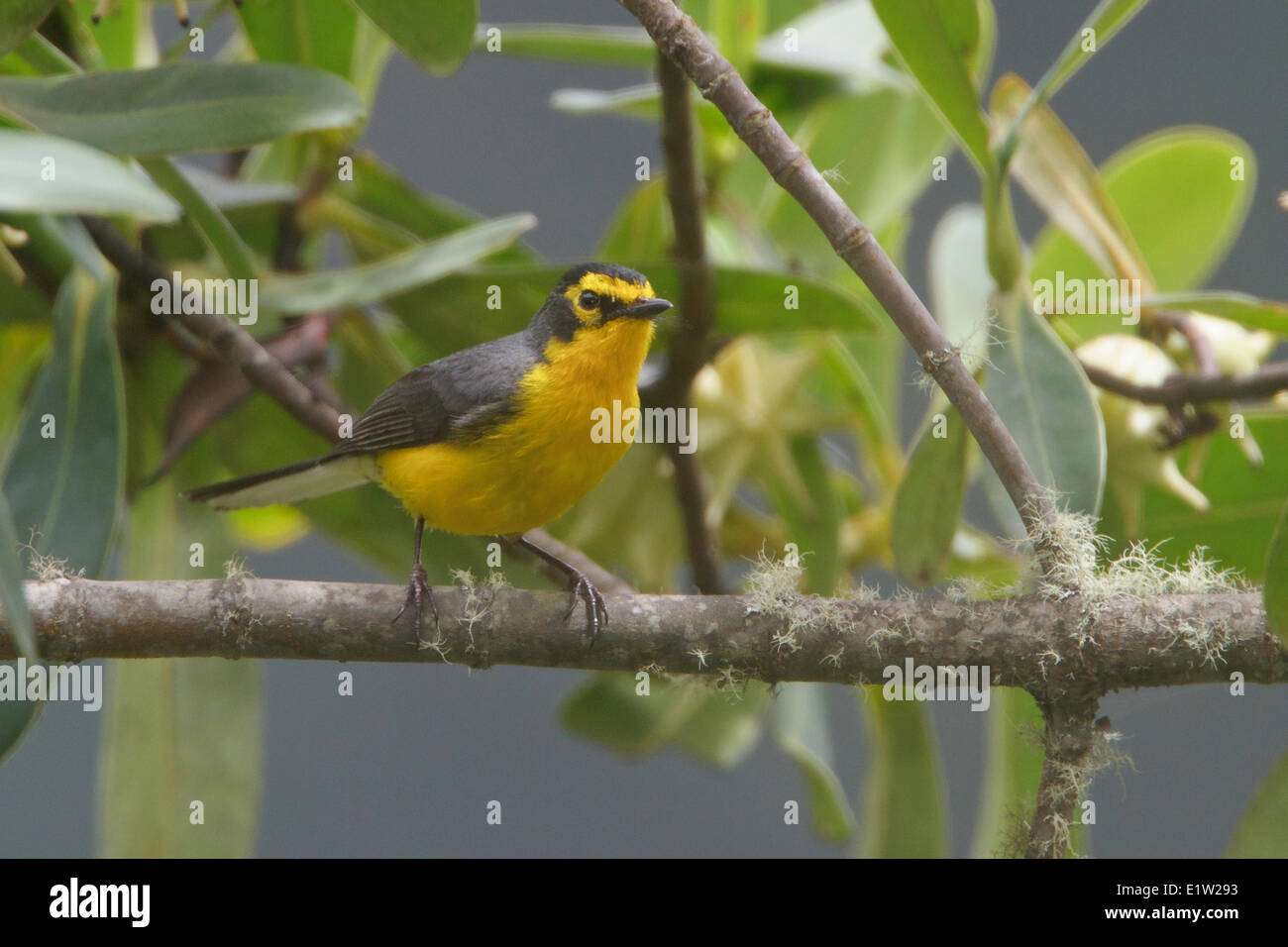 Spectacled Redstart (Myioborus melanocephalus) perched on a branch in Peru. - Stock Image