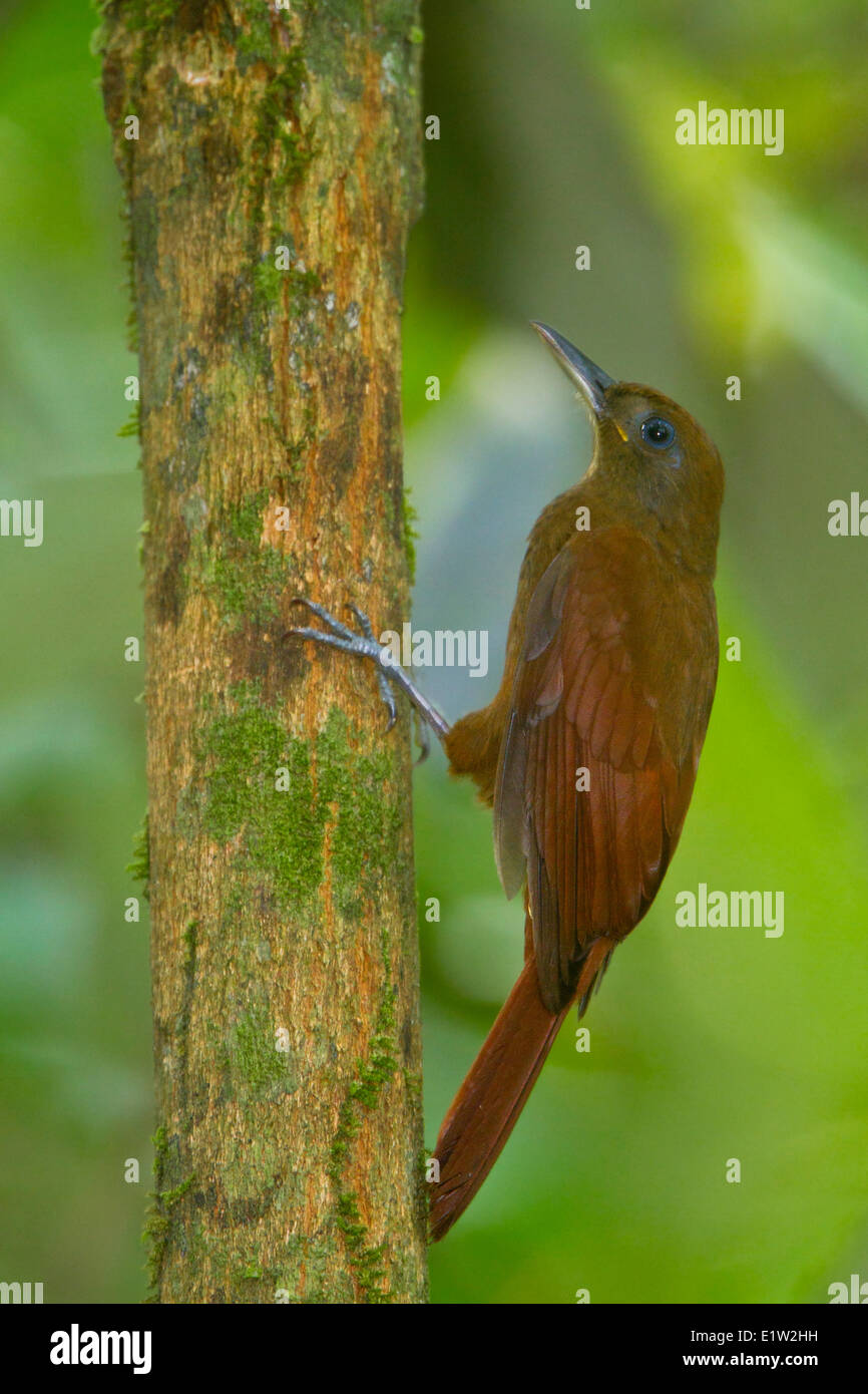 White-chinned Woodcreeper (Dendrocincla merula) perched on a branch in Peru. - Stock Image