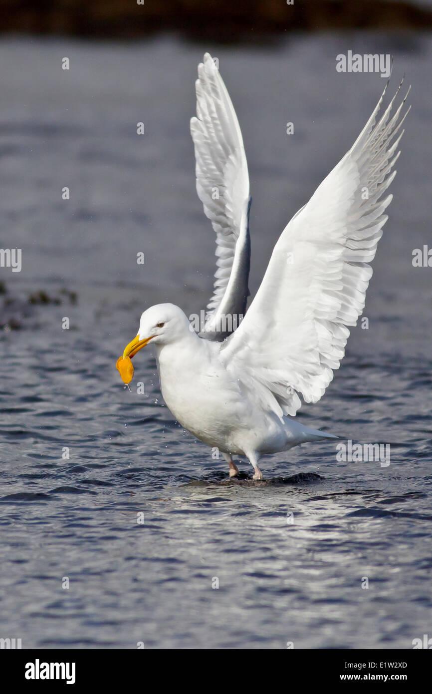 Glaucous-Winged Gull, Larus glaucescens - Stock Image