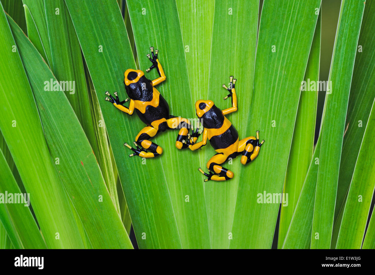 Bumblebee poison dart frog/Guyana Banded dart frog (Dendrobates leucomelas), native to Guyana, South America. - Stock Image