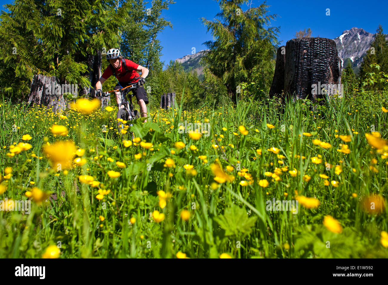 A male mountain biker riding sweet singletrack. Fernie, BC - Stock Image