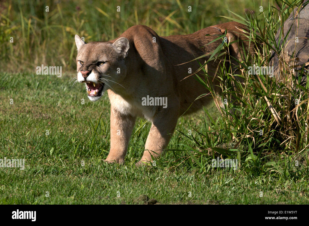 cougar or mountain lion, Puma concolor, snarling, North America. - Stock Image