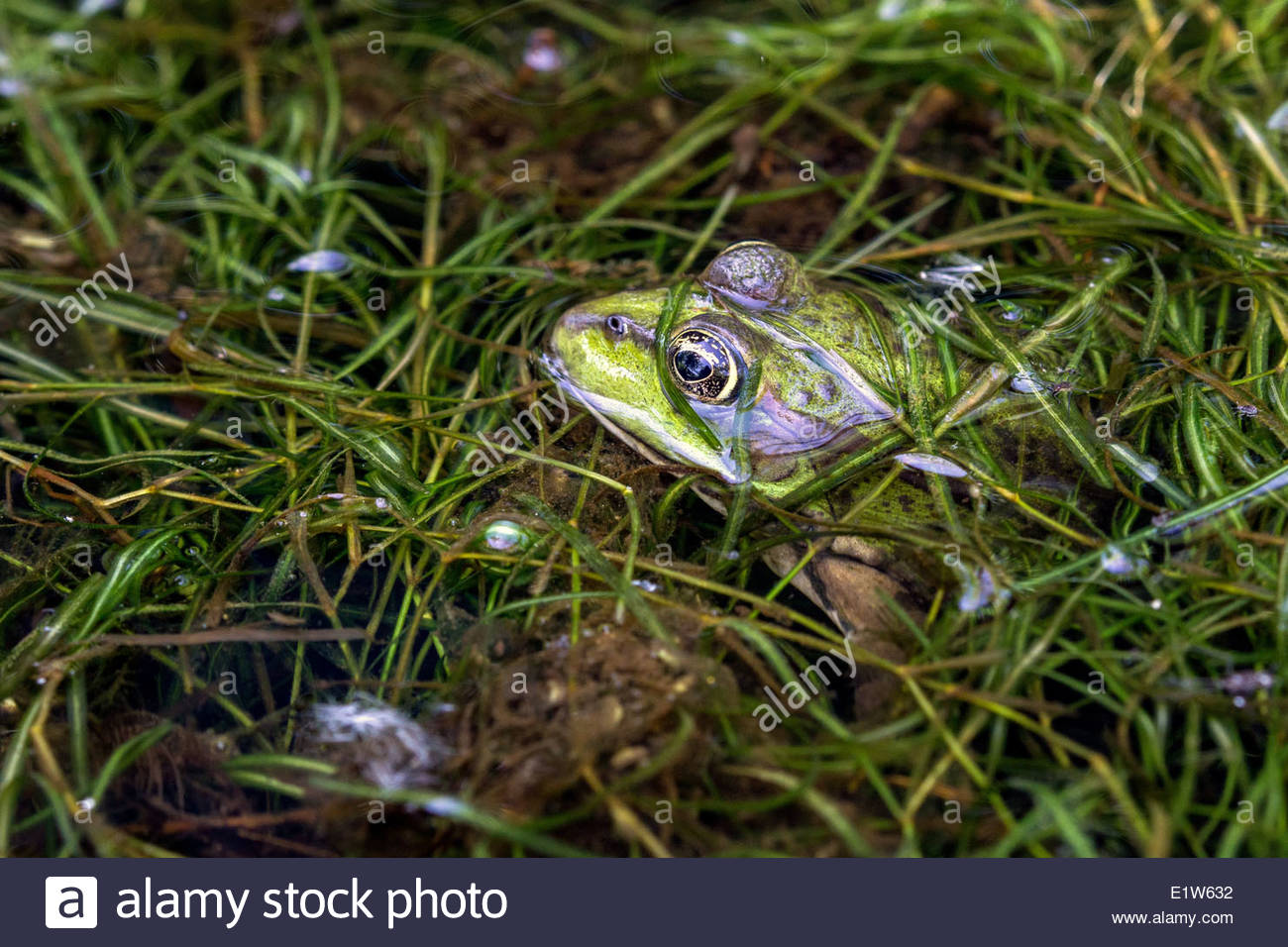 Pelophylax kl. esculentus known as the edible frog, common European frog, common water frog or green frog - Stock Image