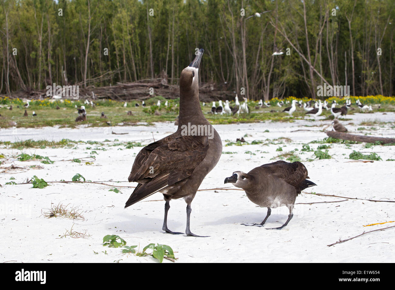 Black-footed albatross (Phoebastria nigripes) courtship display Sand Island Midway Atoll National Wildlife Refuge Stock Photo