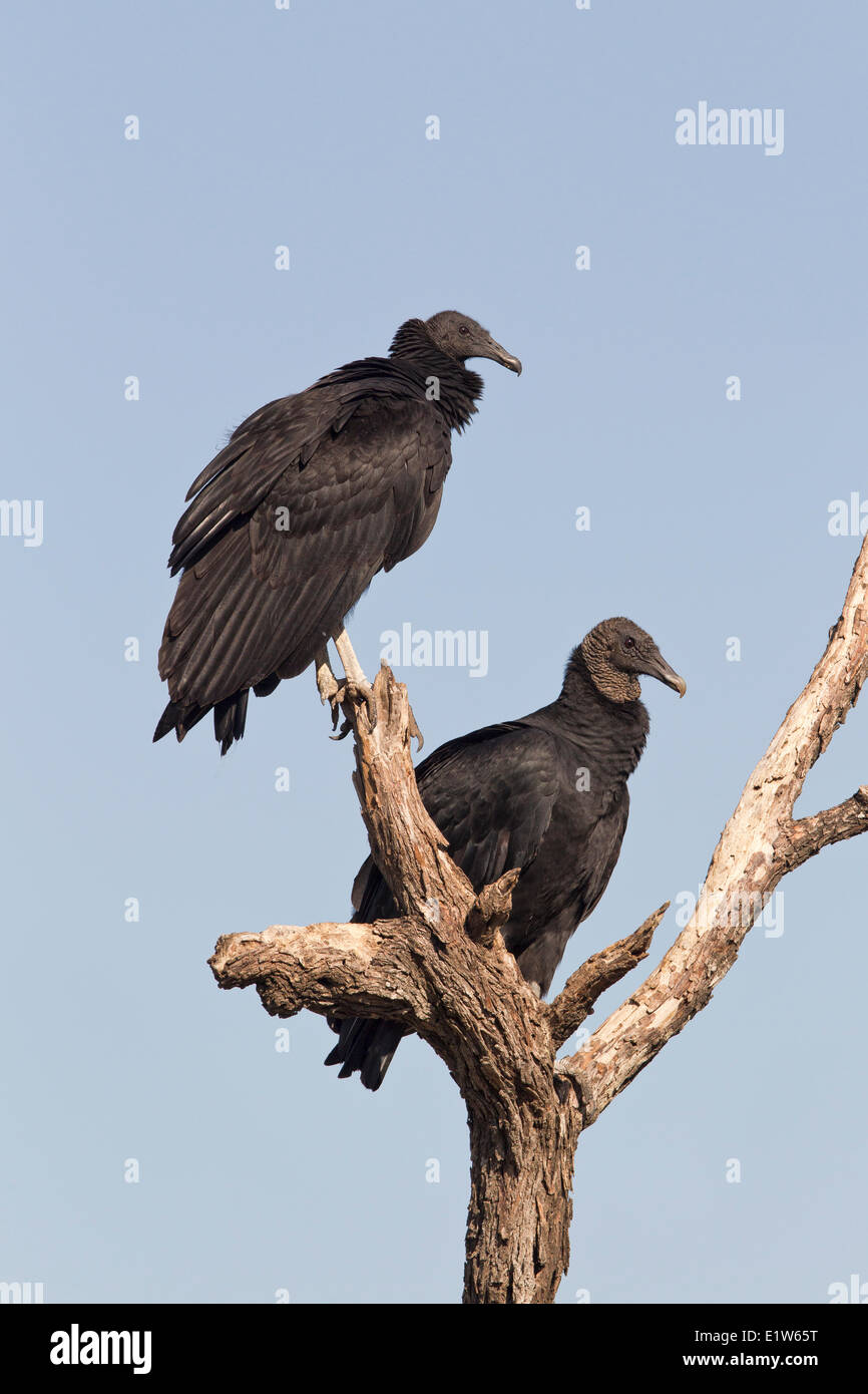 Black vultures (Coragyps atratus), Martin Refuge, near Edinburg, South Texas. - Stock Image