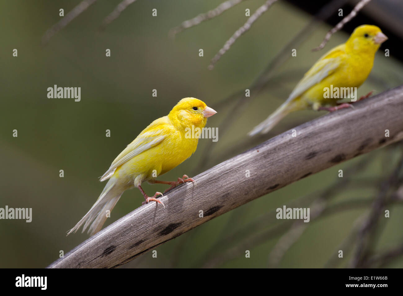 Canary (Serinus canaria domestica) Sand Island Midway Atoll National Wildlife Refuge Northwest Hawaiian Islands. - Stock Image