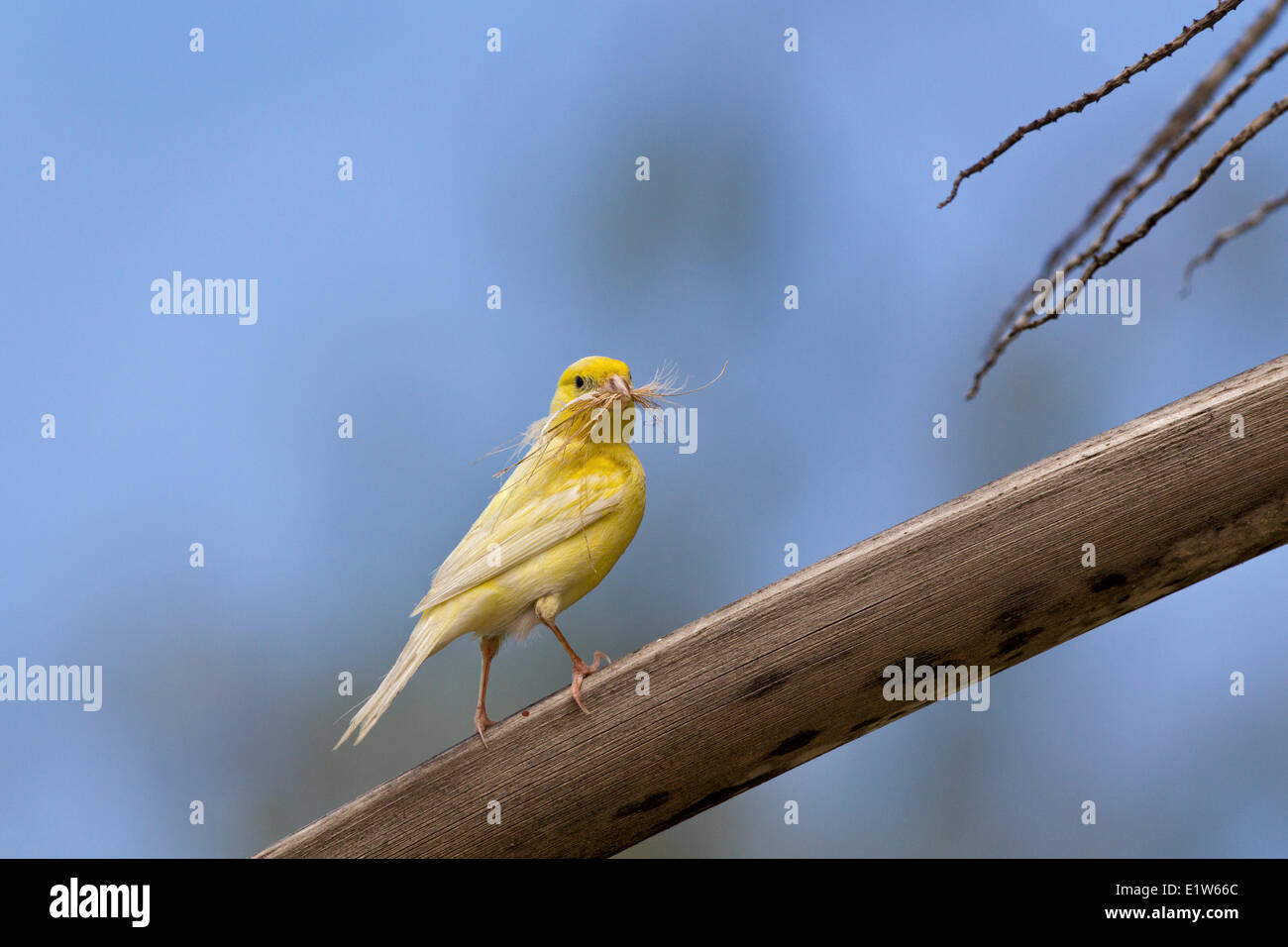 Canary (Serinus canaria domestica) with nesting material Sand Island Midway Atoll National Wildlife Refuge Northwest - Stock Image