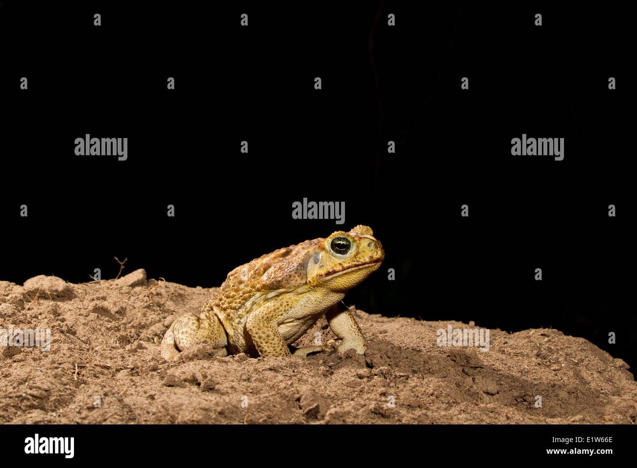 Cane toad (Bufo marinus), (very briefly controlled),  Edinburg, South Texas. - Stock Image