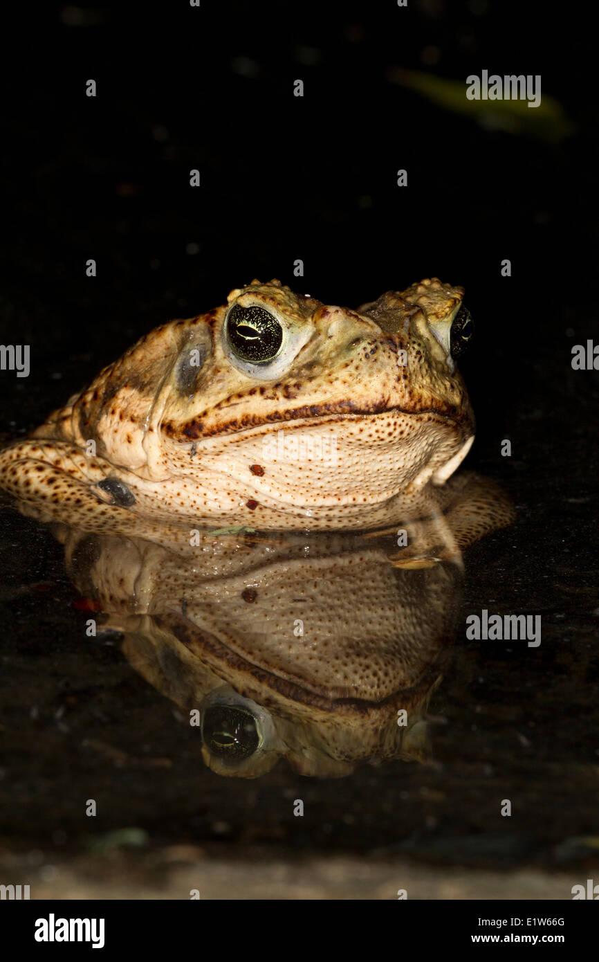 Cane toad (Bufo marinus), Edinburg, South Texas. - Stock Image