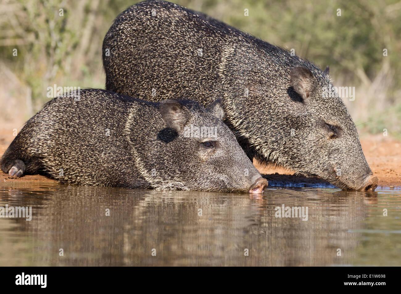 Collared peccary (Pecari tajacu), drinking/lying in pond to keep cool, Santa Clara Ranch, near Edinburg, South Texas. - Stock Image
