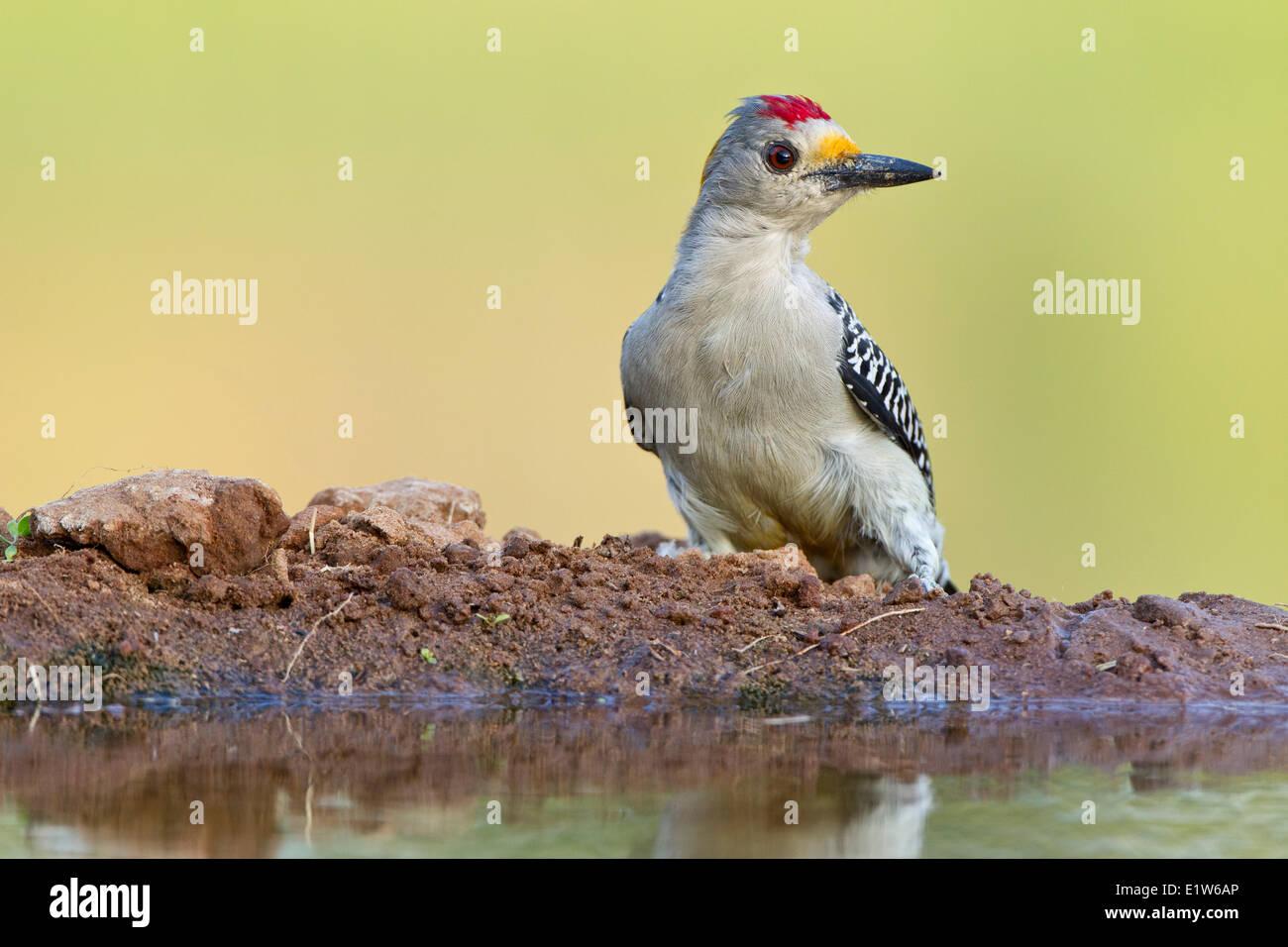 Golden-fronted woodpecker (Melanerpes aurifrons), male, Laguna Seca Ranch, near Edinburg, South Texas. Stock Photo