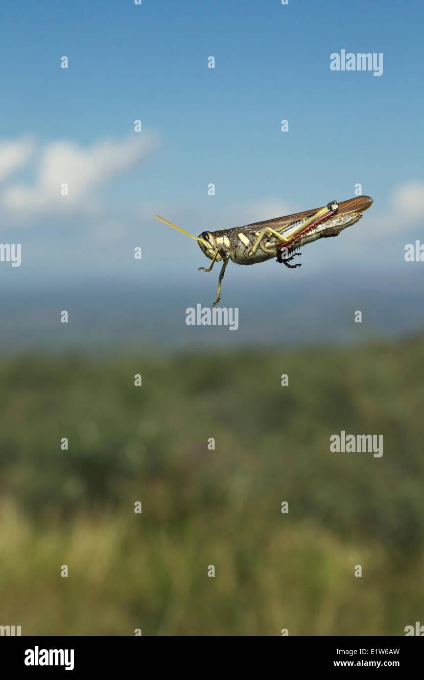 Grasshopper, probably family Acrididae, on windshield, Agua Caliente Canyon, near Amado, Arizona. Stock Photo