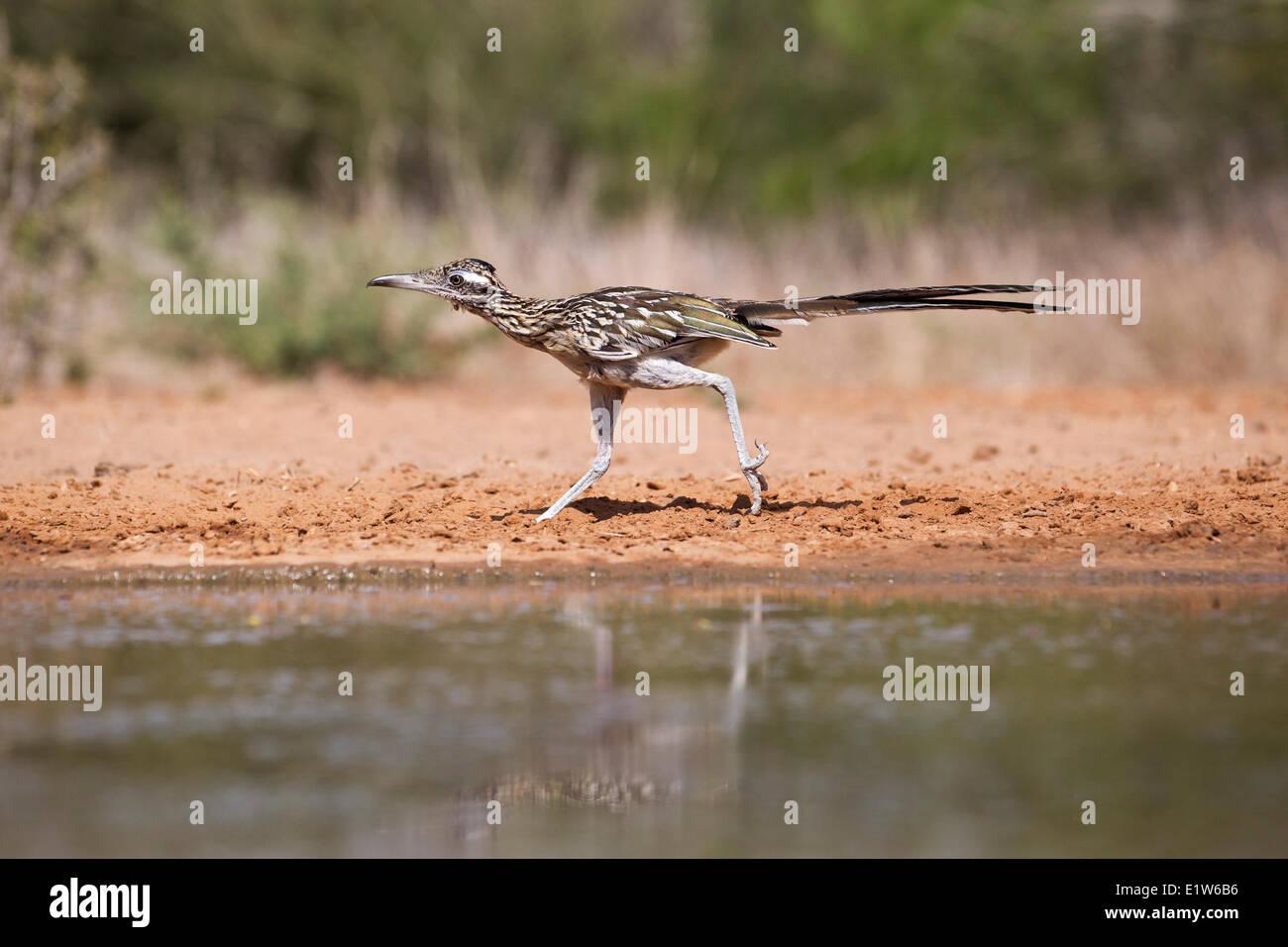 Greater roadrunner (Geococcyx californianus), running, Santa Clara Ranch, near Edinburg, South Texas. (Note tick - Stock Image