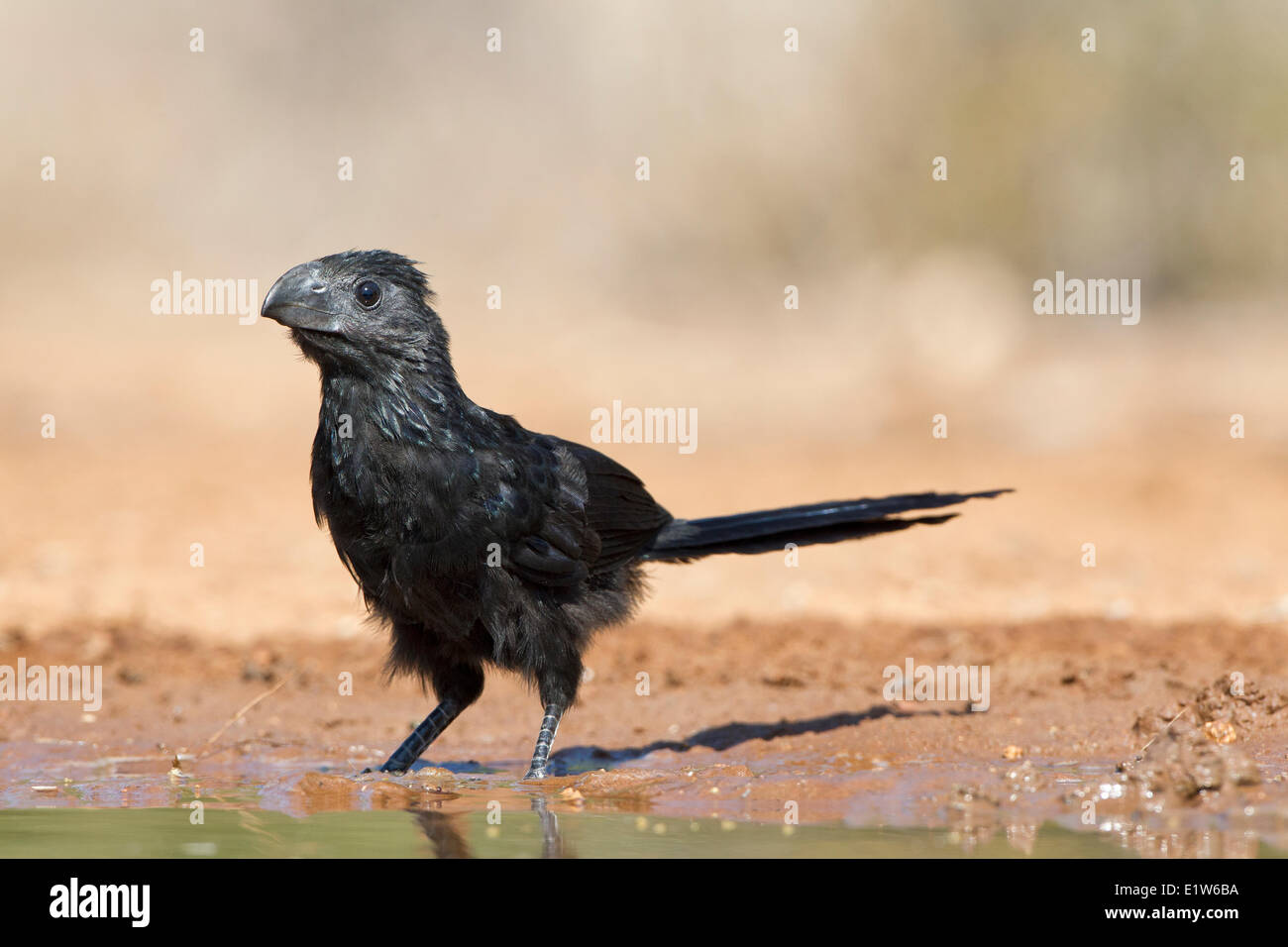 Groove-billed ani (Crotophaga sulcirostris), Santa Clara Ranch, near Edinburg, South Texas. - Stock Image