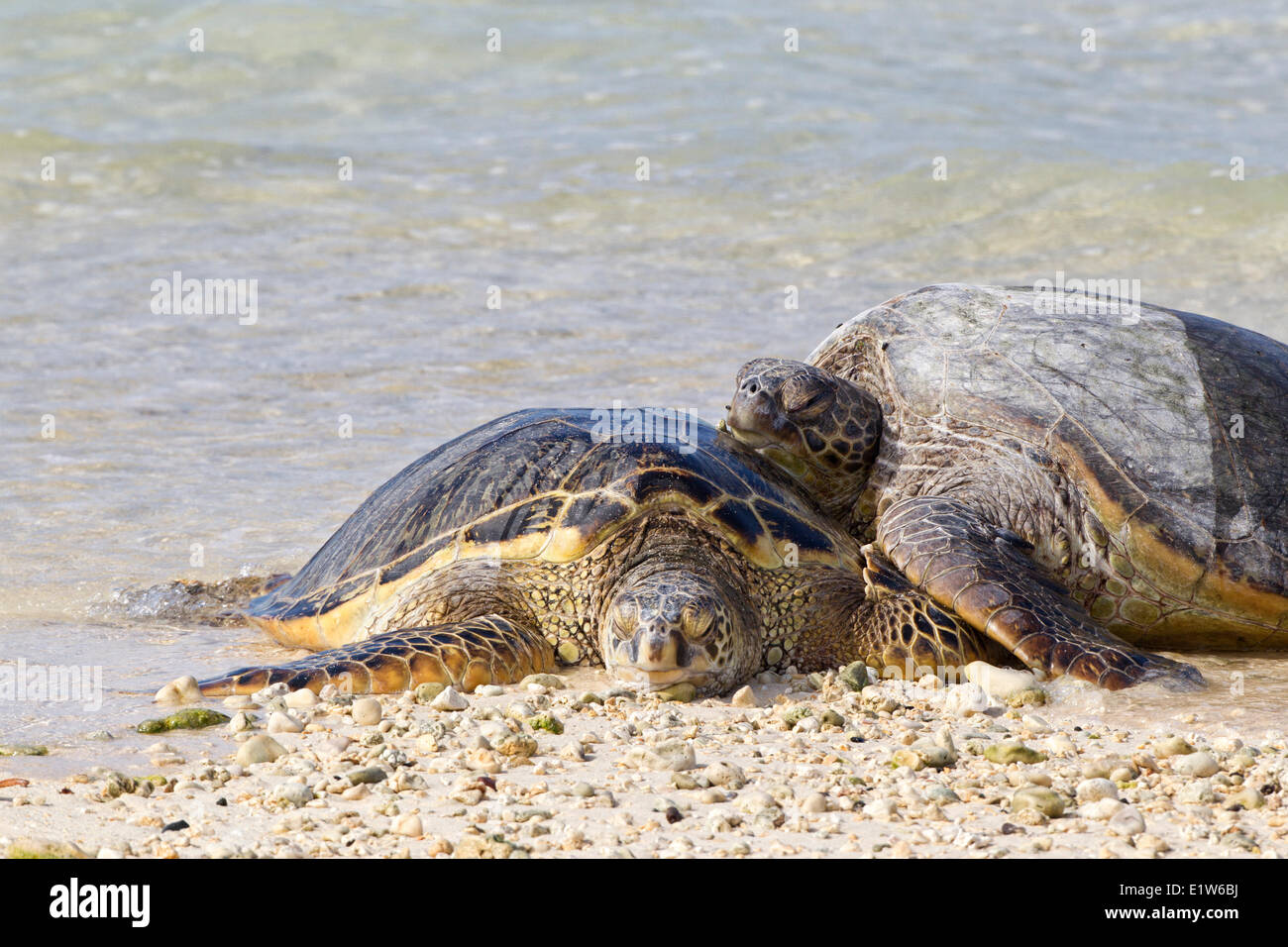 Hawaiian green sea turtles (Chelonia mydas) resting on beach Sand Island Midway Atoll National Wildlife Refuge Northwest - Stock Image