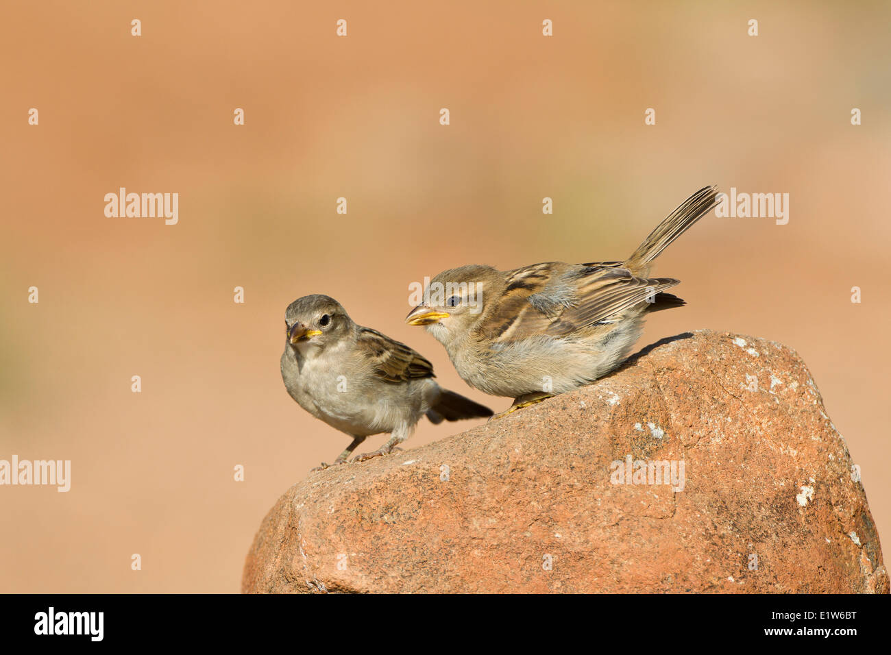 House sparrow (Passer domesticus), fledglings, Elephant Head Pond, Amado, Arizona. - Stock Image