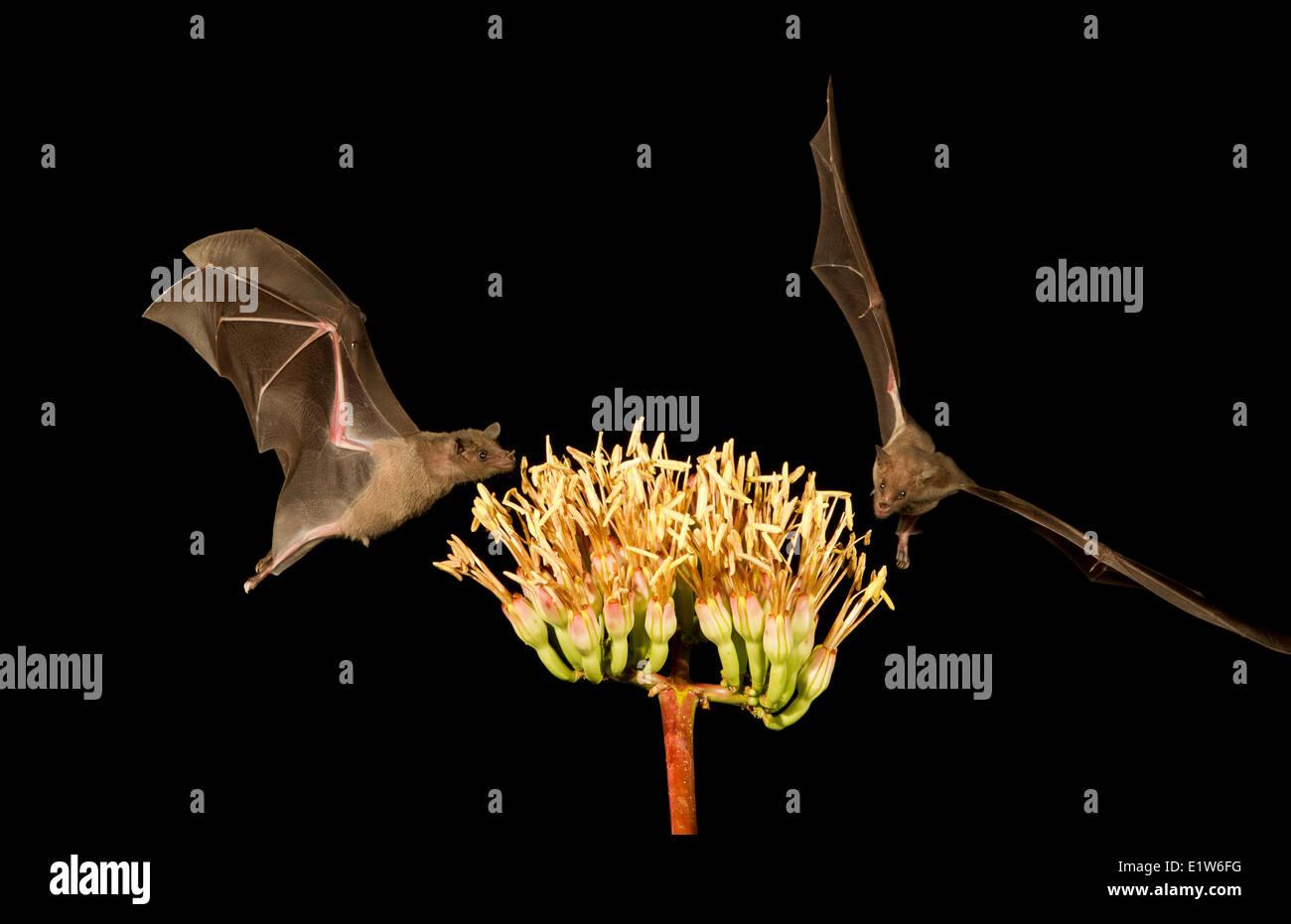 Lesser long-nosed bat (Leptonycteris yerbabuenae), feeding on Agave flower, Amado, Arizona. This bat is listed as vulnerable. Stock Photo
