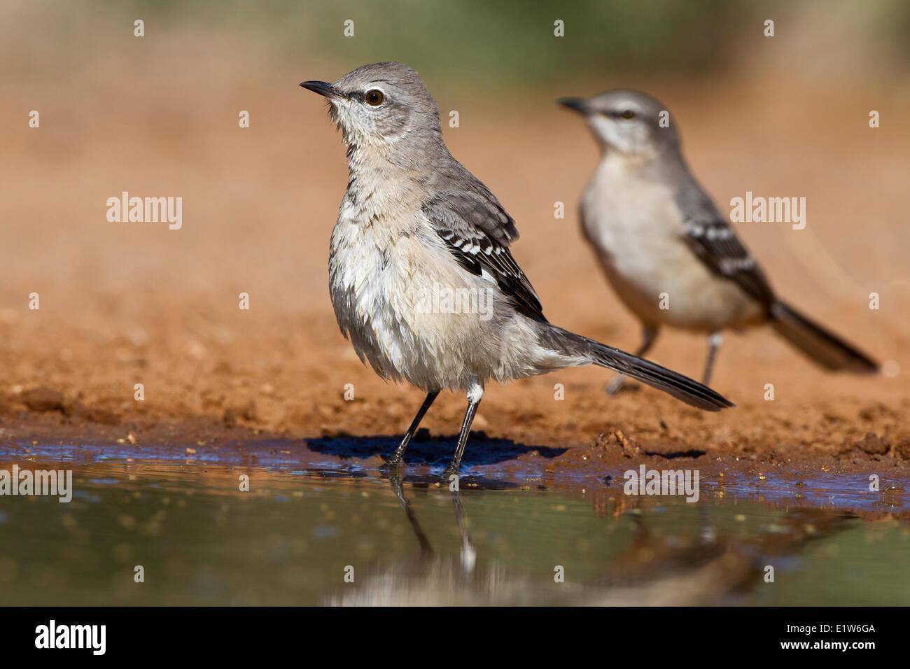 Northern mockingbird (Mimus polyglottos), adults, at pond to drink water, Santa Clara Ranch, near Edinburg, South Stock Photo