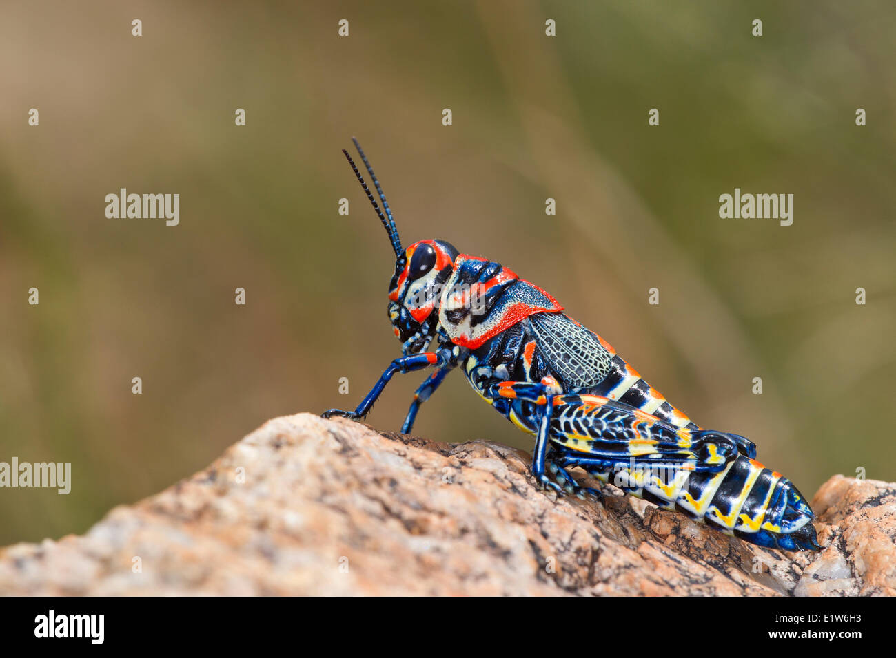 Rainbow grasshopper (Dactylotum bicolor), near Amado, Arizona Stock Photo