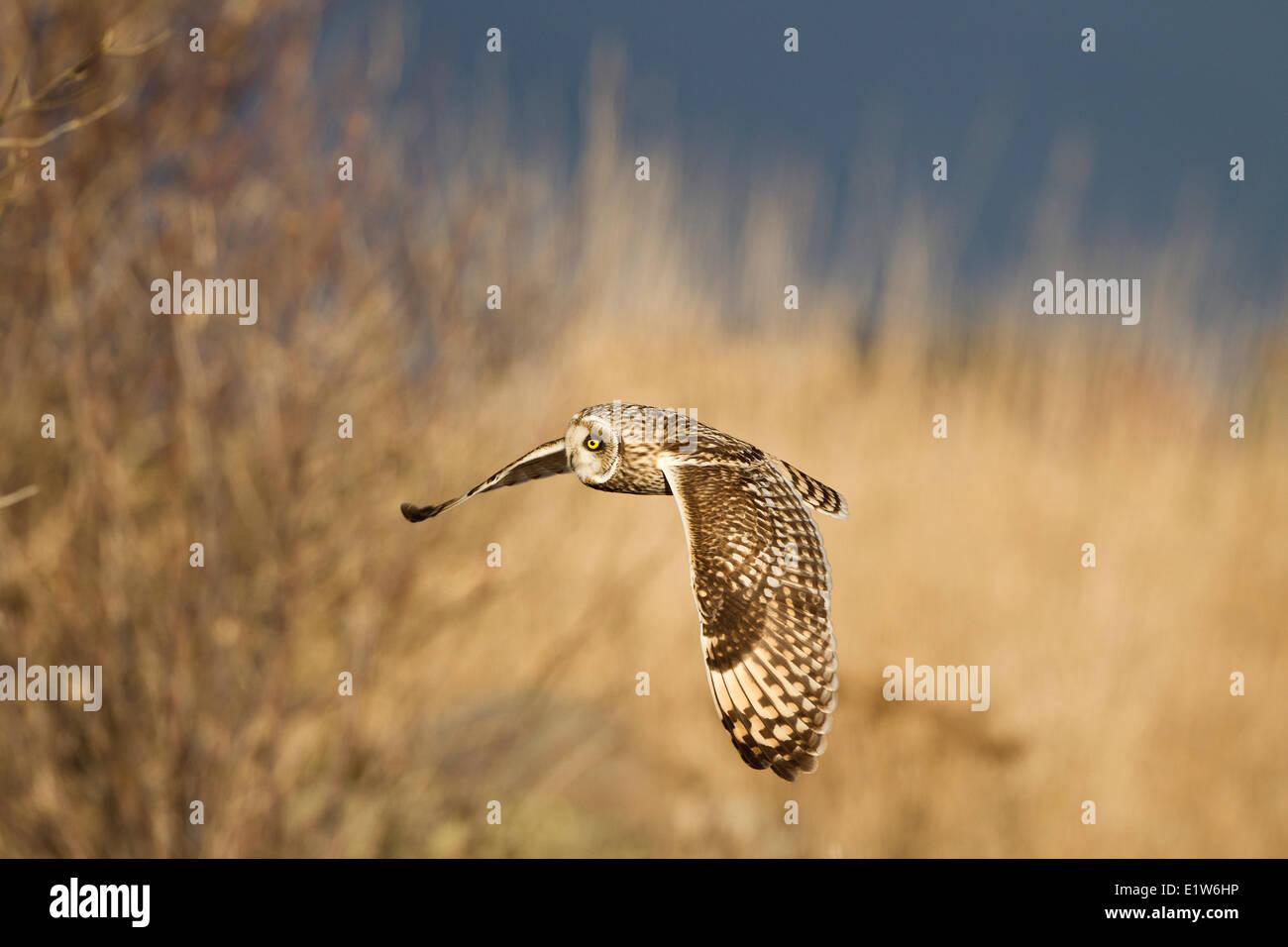 Short-eared owl (Asio flammeus), in flight, Brunswick Point, Delta, British Columbia. - Stock Image