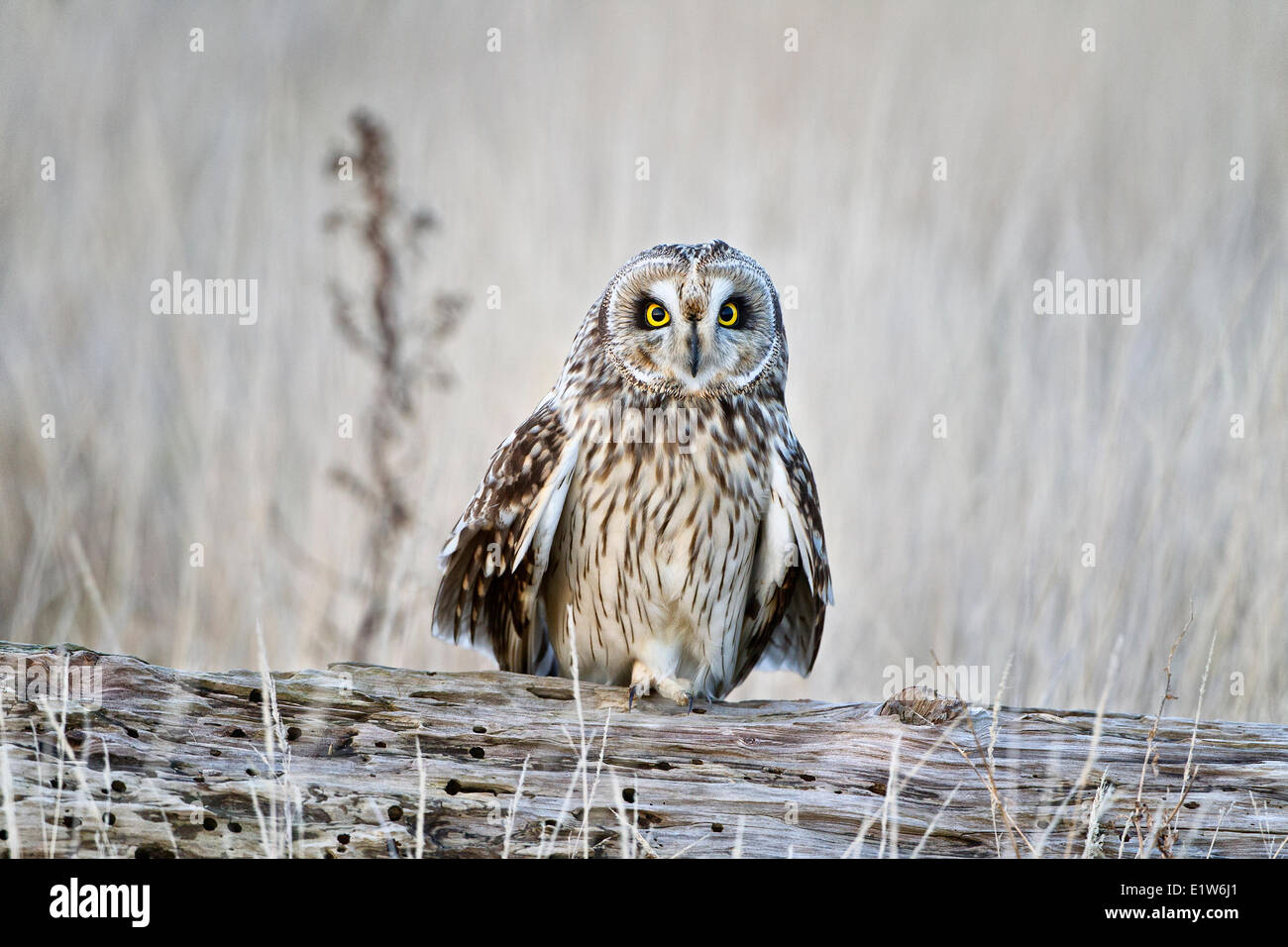 Short-eared owl (Asio flammeus), probably male, Brunswick Point, Delta, British Columbia. Stock Photo