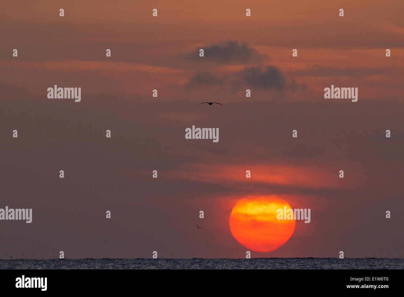 Sunset with flying albatross (Phoebastria spp.), Sand Island, Midway Atoll National Wildlife Refuge, Northwest Hawaiian - Stock Image