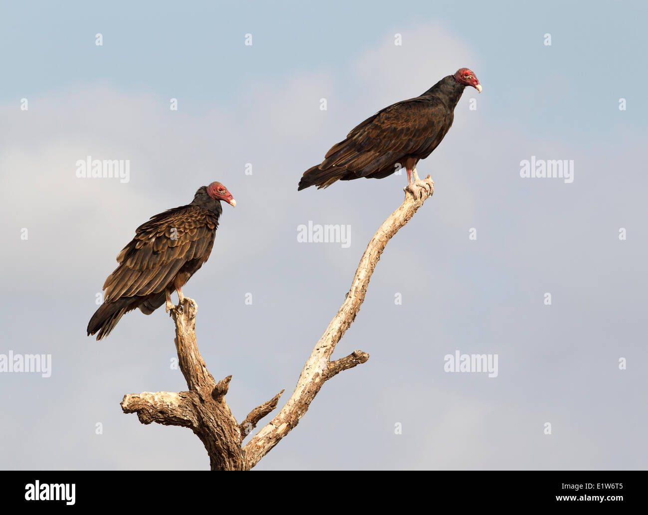 Tturkey vultures (Cathartes aura),  Martin Refuge, near Edinburg, South Texas. - Stock Image