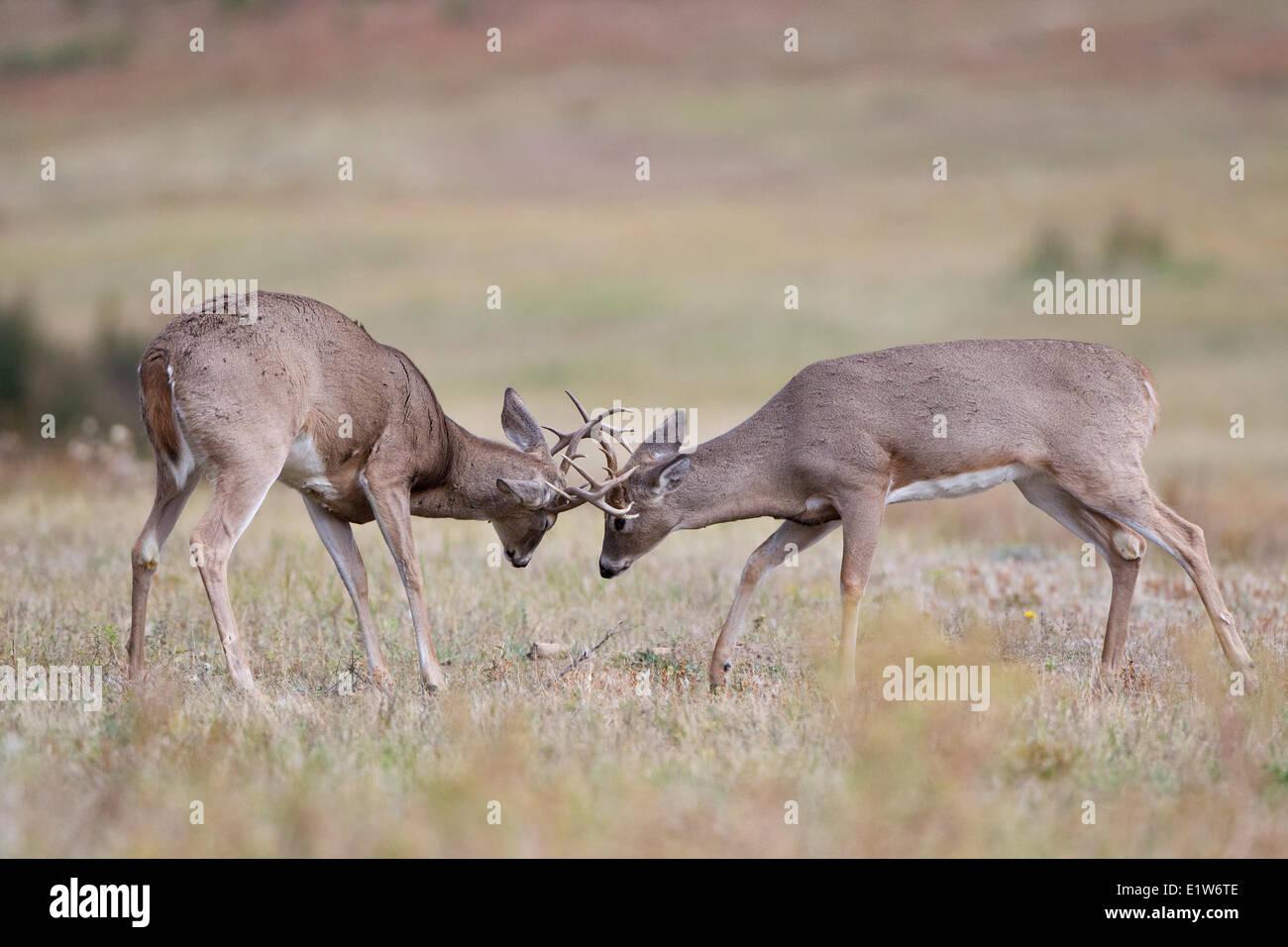 White-tailed deer (Odocoileus virginianus), bucks sparring, Custer State Park, South Dakota. - Stock Image