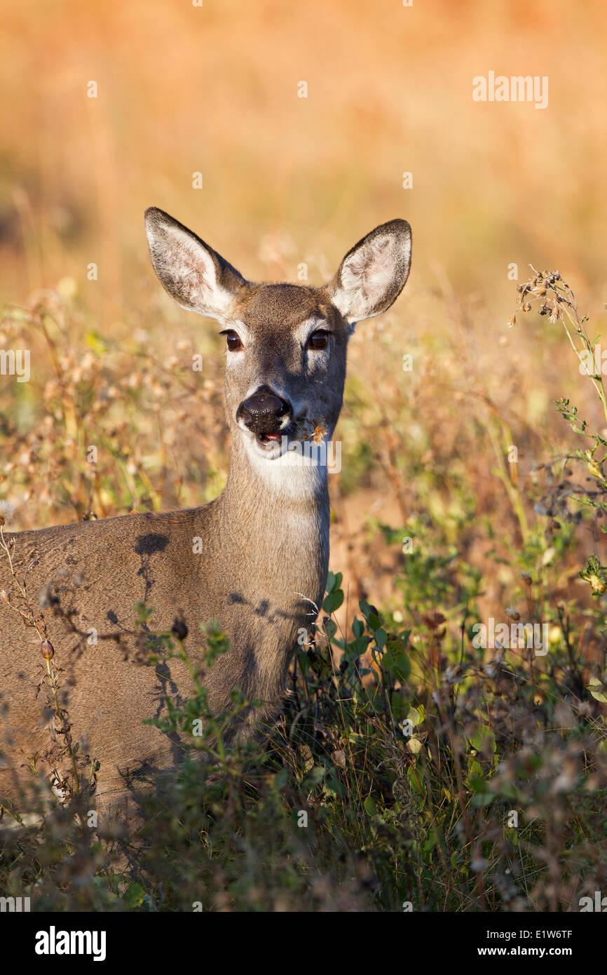 White-tailed deer (Odocoileus virginianus), doe eating, Custer State Park, South Dakota. - Stock Image