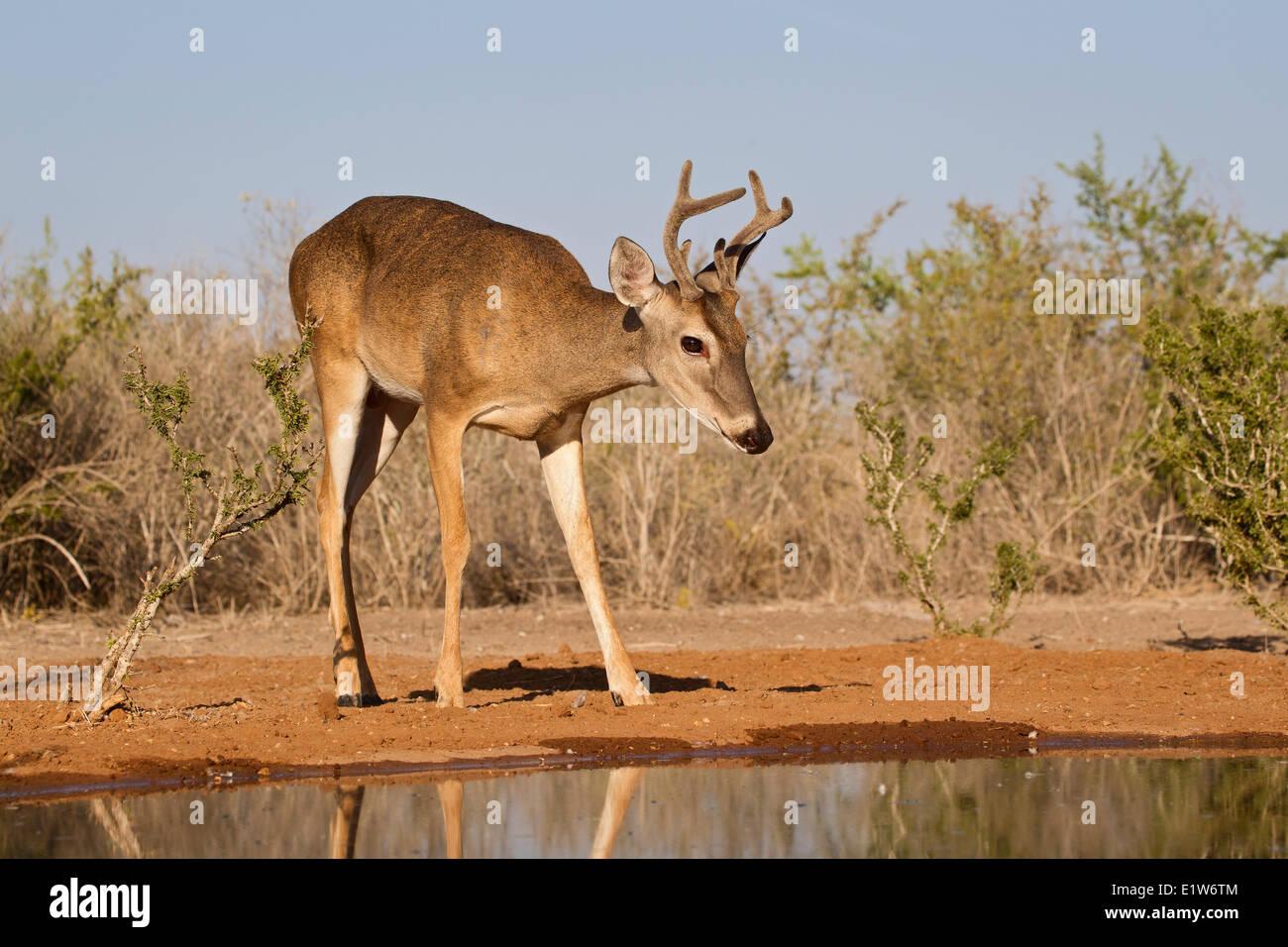 White-tailed deer (Odocoileus virginianus), buck, at pond to drink water, Santa Clara Ranch, near Edinburg, South - Stock Image