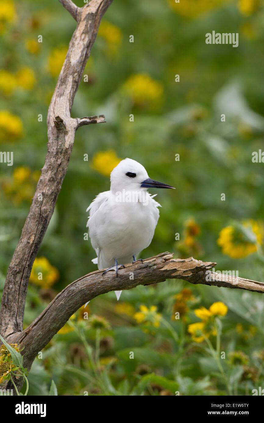 White tern (Gygis alba rothschildi) Eastern Island Midway Atoll National Wildlife Refuge Northwest Hawaiian Islands. - Stock Image
