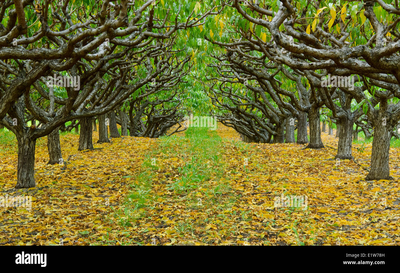 Fruit trees line up in an orchard near Keremeos in the Similkameen region of British Columbia, Canada - Stock Image