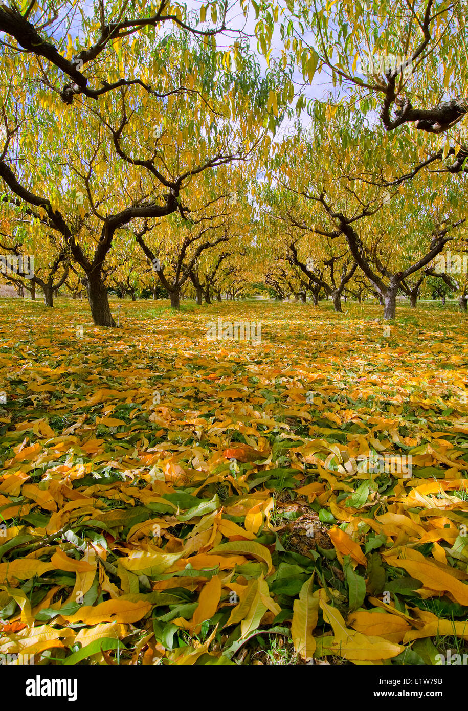 Fruit trees line an orchard in the fall near Summerland in the Thompson Okanagan region of British Columbia, Canada - Stock Image