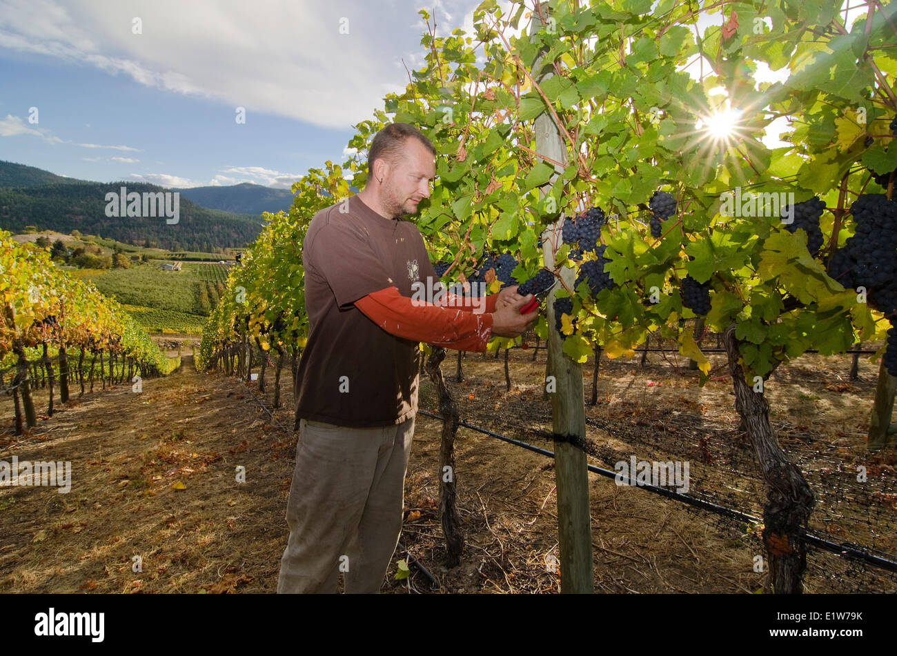 Winemaker cuts grapes in the vineyards at Thornhaven Estates Winery in Summerland in the Thompson Okanagan region - Stock Image