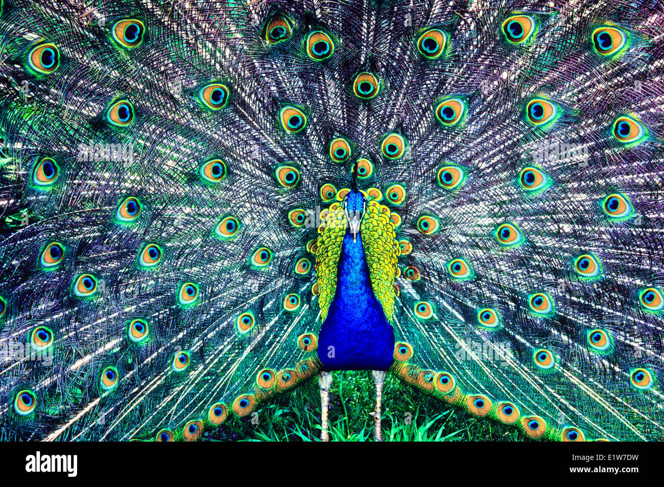 Blue Peacock, (Pavo cristatus) - Stock Image