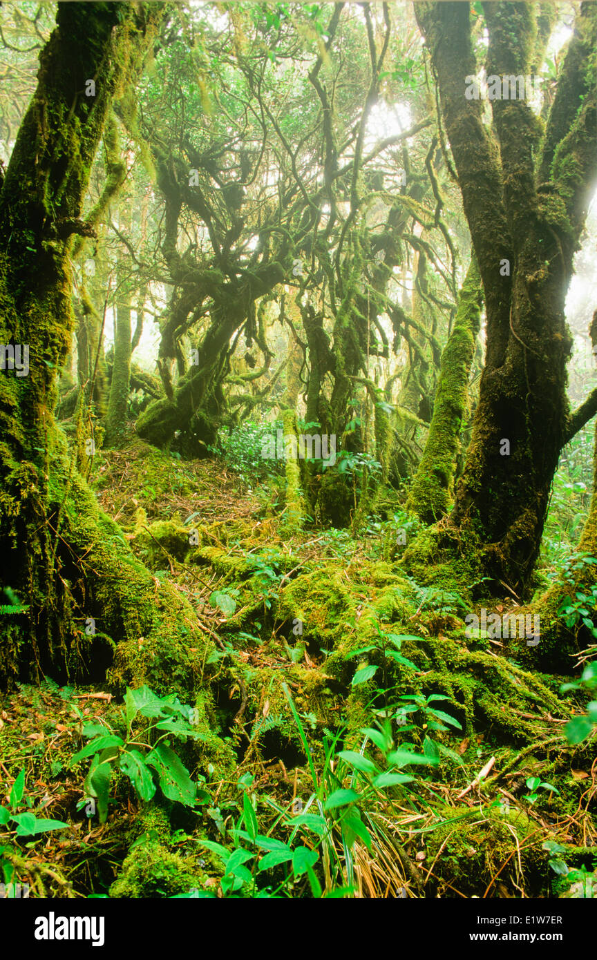 Moss covered Oak forest, Volcan Barva Trail, Braulio Carrillo National Park, Costa Rica - Stock Image