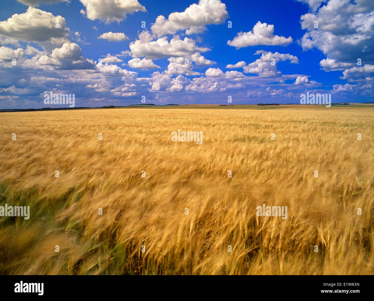 Wind-blown maturing barley field and sky with cumulus clouds, Tiger Hills, Manitoba, Canada - Stock Image