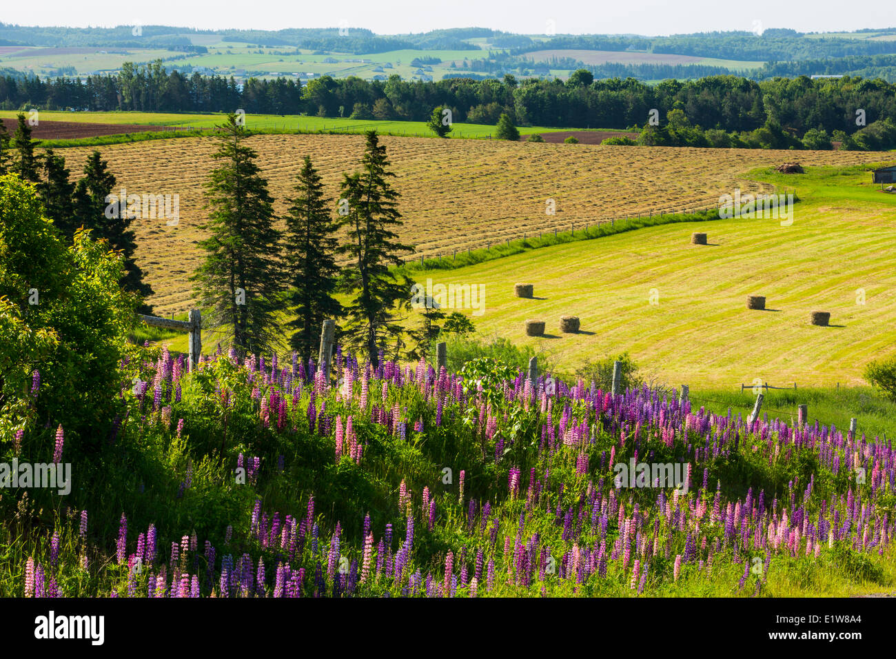 Lupins, Burlington, Prince Edward Island, Canada - Stock Image