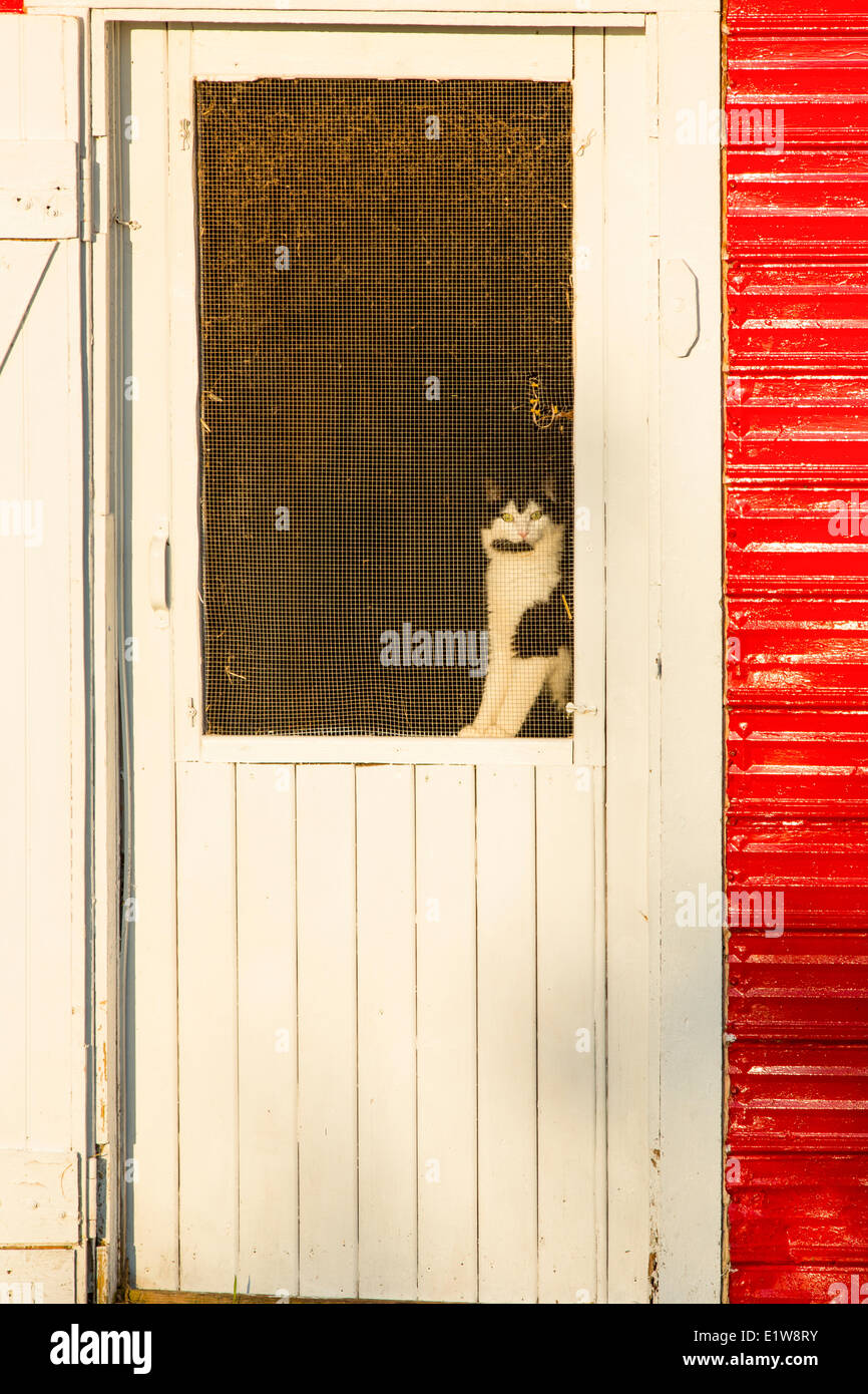 Cat in screen door, Emerald Junction, Prince Edward Island, Canada - Stock Image