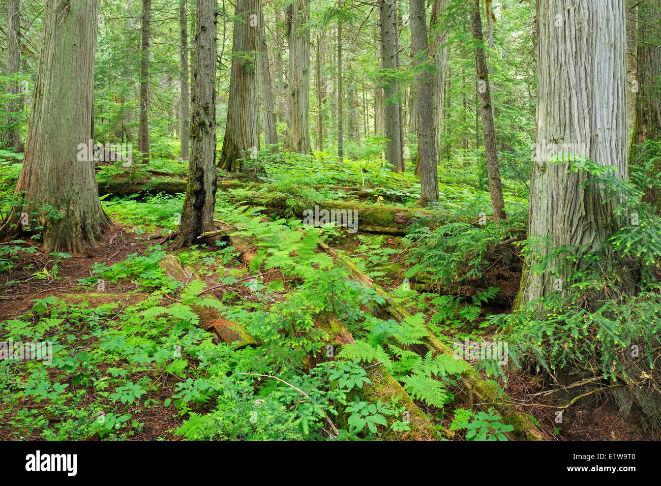Old growth forest in Inland temperate rain forest on Giant Cedars Trail Mount Revelstoke National Park British Columbia - Stock Image