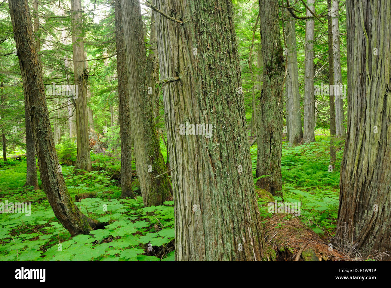 Old growth forest in Inland temperate rain forest on the Hemlock Grove Trail, Glacier National Park, British Columbia, - Stock Image